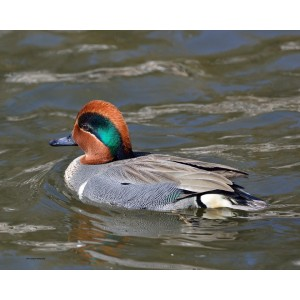 Green-winged Teal.jpg