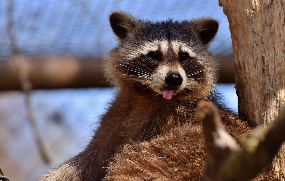 Raccoon.jpg.69b533ea75095aed63db39f0f63250e5.jpg