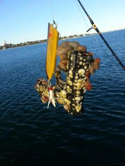 Latest boston harbor fishing report massachusetts for Boston harbor fishing report