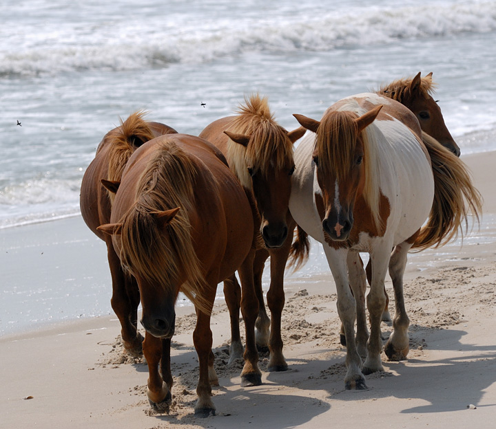 Horse reproduction - DelMarVa Fishing Forum - SurfTalk