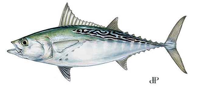 Image result for false albacore picture