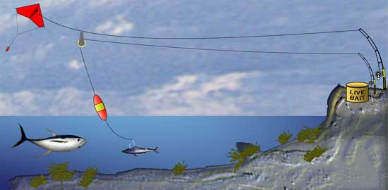 Kite fishing from pier surf main forum surftalk for Kite fishing for tuna