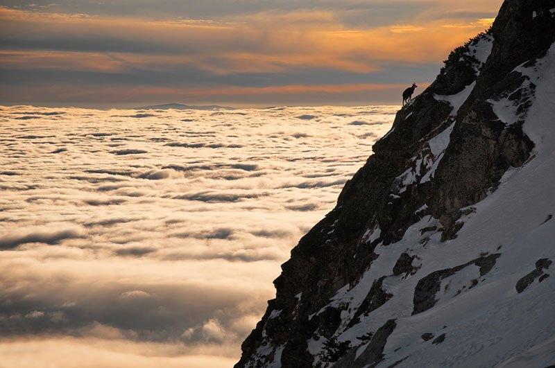 chamois-above-clouds-high-tatras-slovakia.jpg