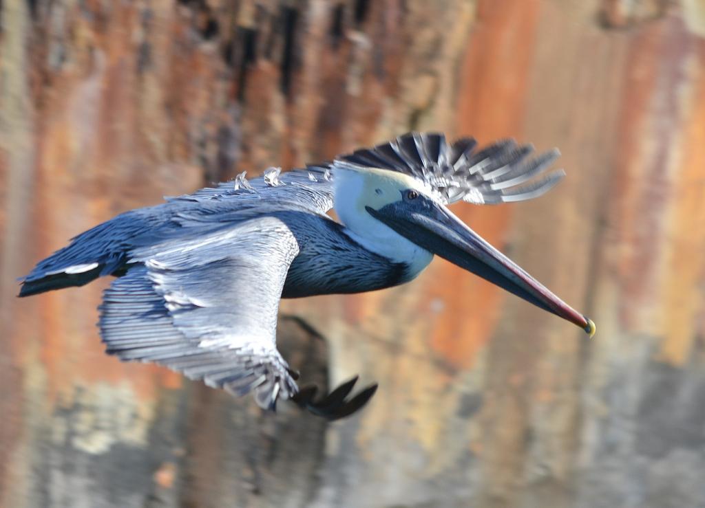 pelicanfly444_zps531cc8da.jpg