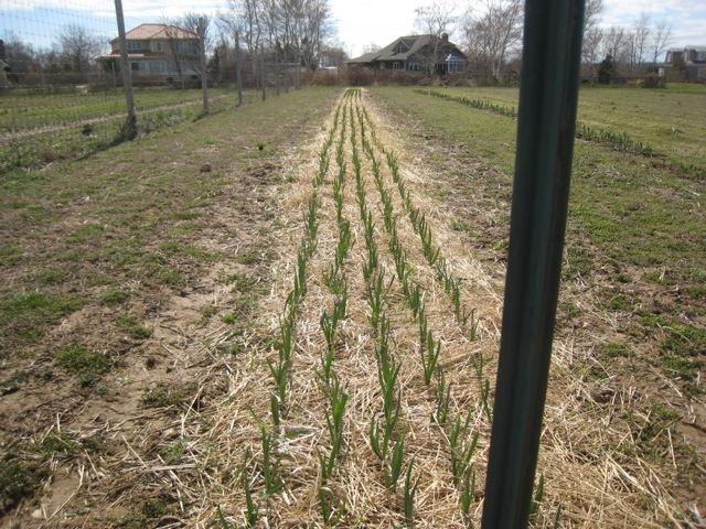 Garlic at Peters 2.jpg