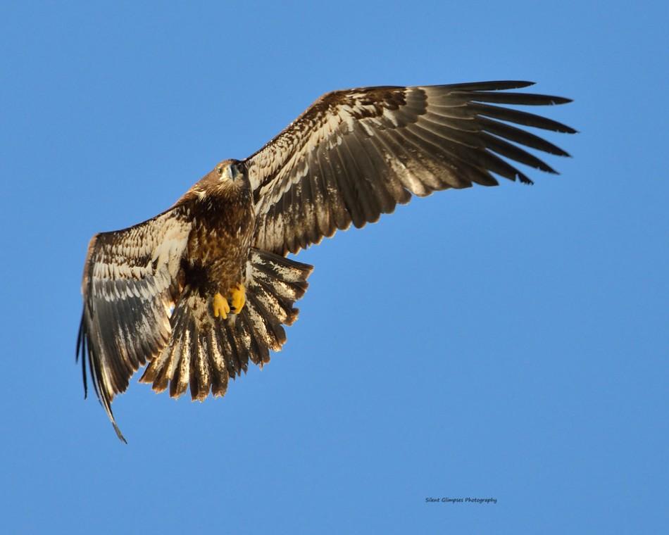 Juvinille bald eagle.jpg