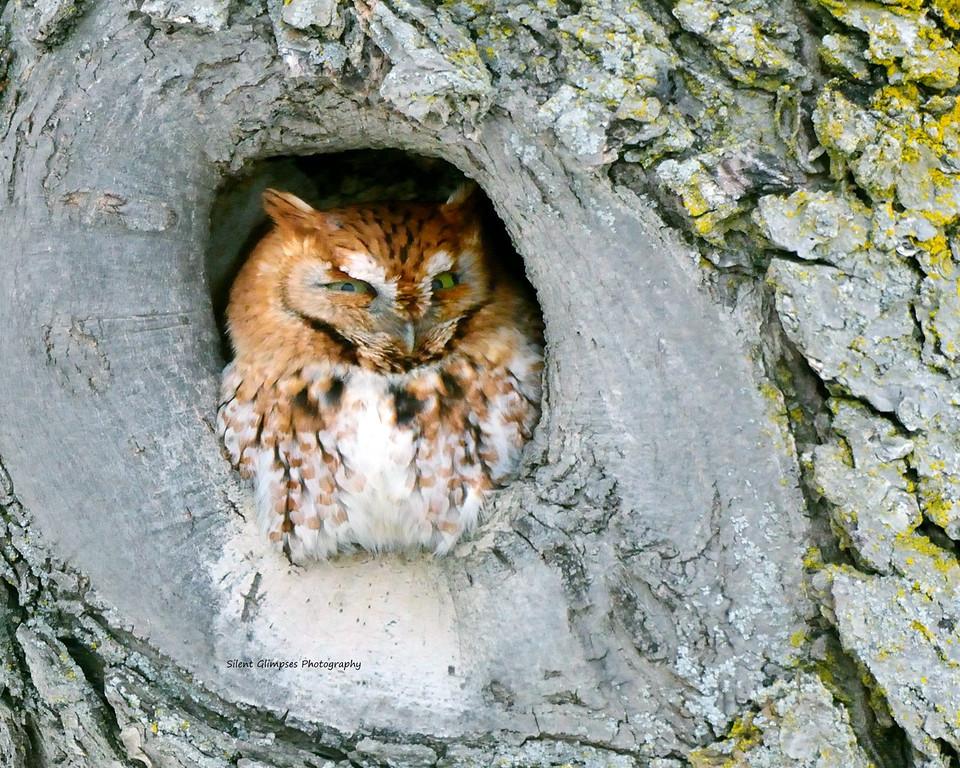 Screech owl 1.jpg