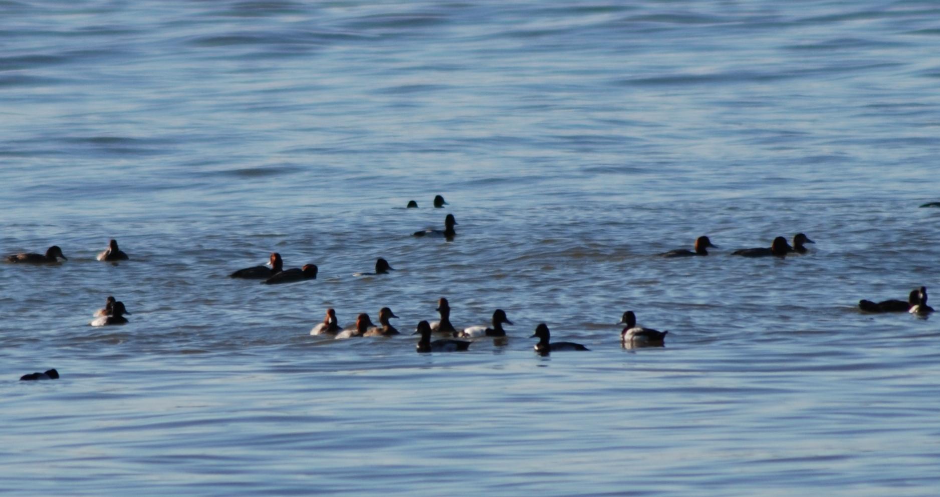 River ducks.jpg