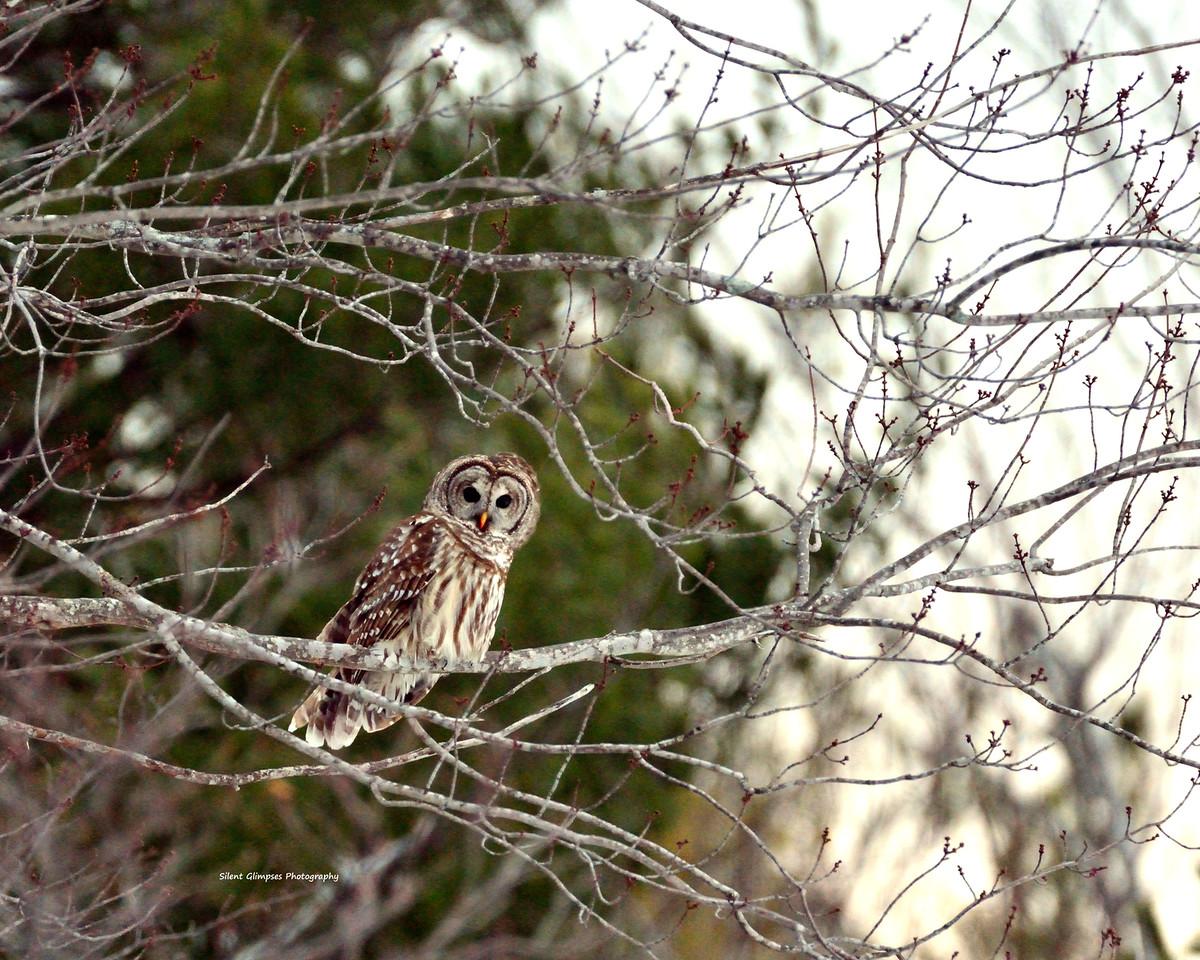 owl1214a1-X2.jpg