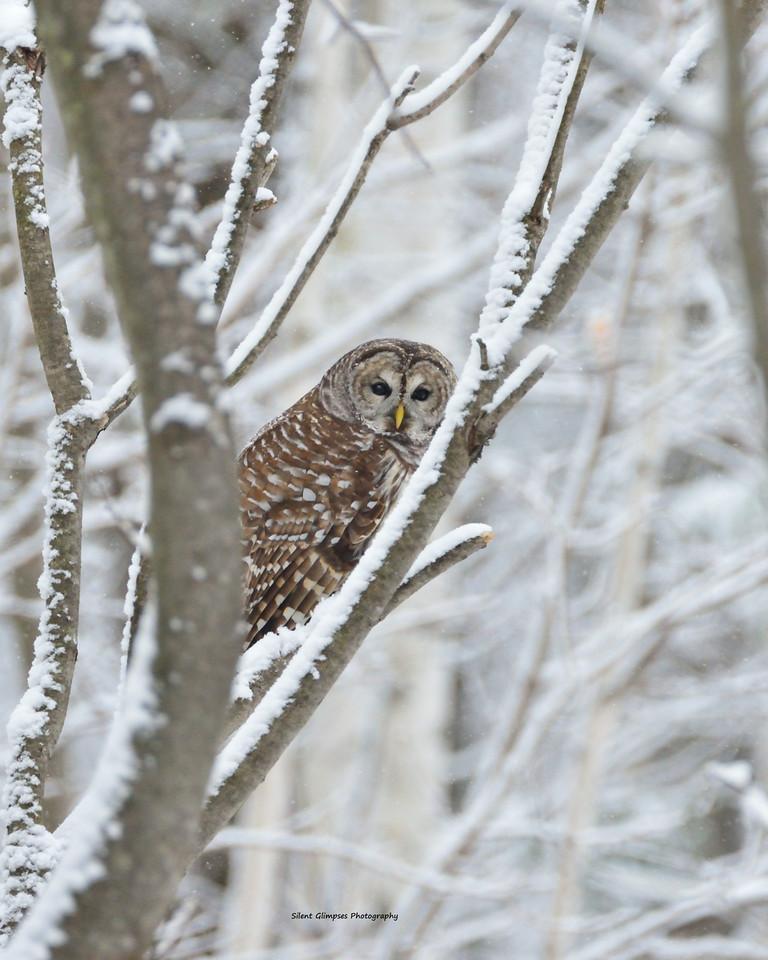 S.Lane Owl.jpg