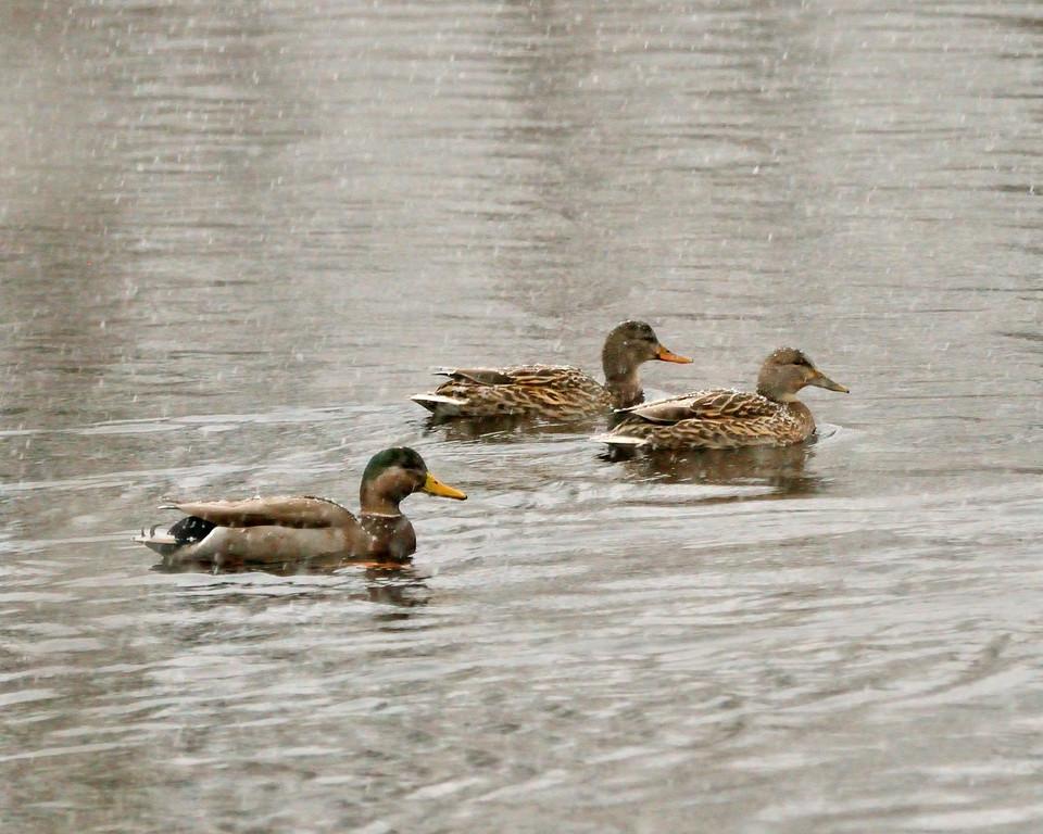ducks1126-XL.jpg