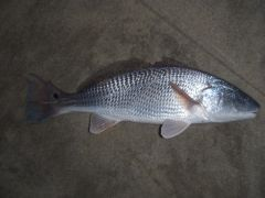 Have you ever caught a redfish in NJ?.....