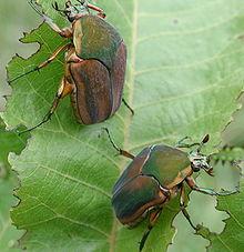 File source: http://commons.wikimedia.org/wiki/File:Green_june_beetle2.jpg