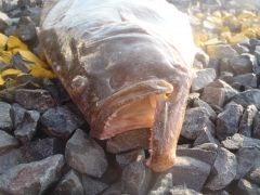 Gut hooked a short fish....