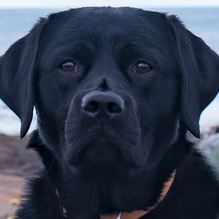 blacklabnh