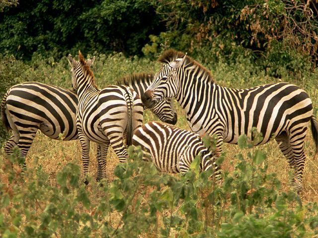 Zebra AK056.jpg