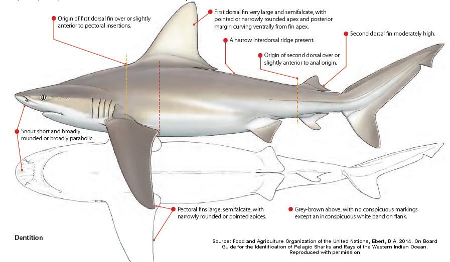 sandbar shark.jpg
