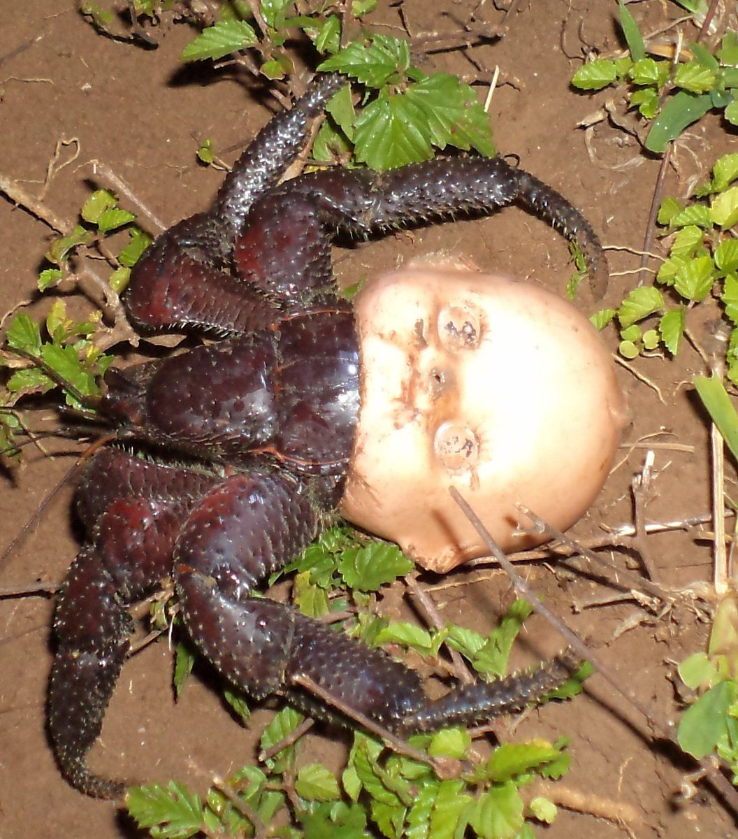 13-Hermit-crab-using-a-discarded-doll-head-for-a-shell.jpg