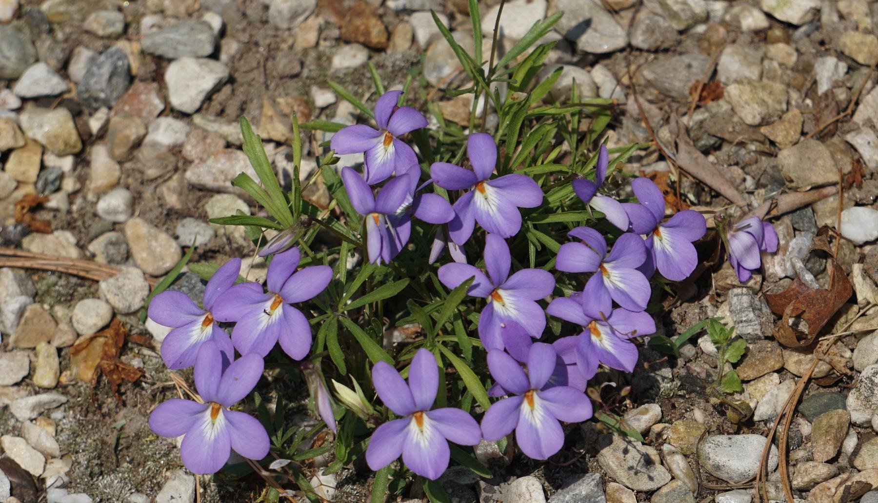 bird foot violets      5.15.18 001.JPG