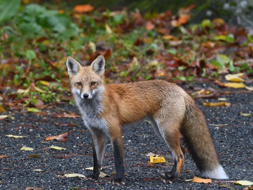 fox.jpg.a96b134c82c614d8b16e3b039efb429d.jpg