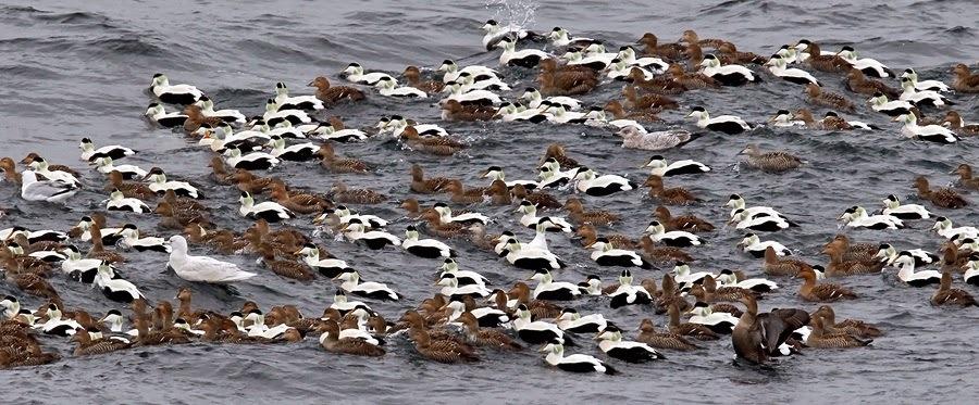 eider-flock.jpg