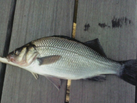 white perch 1.jpeg