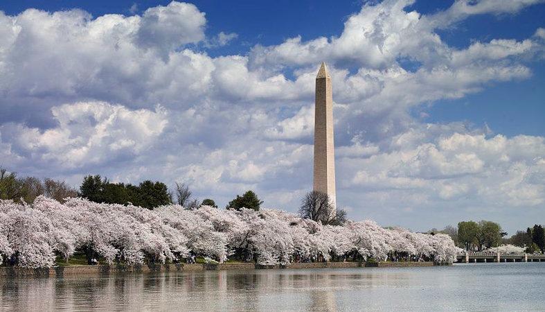 cherry-blossoms-along-tidal-basin-wamo_pbulci-domain-lib-of-congress.jpg