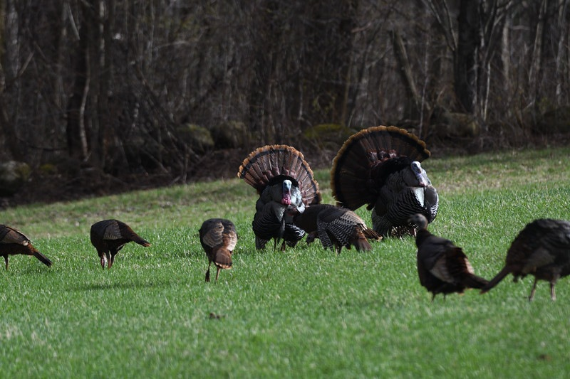 turkeys.jpg.fd143dc984c0c8f930a7cfc8f56199ed.jpg