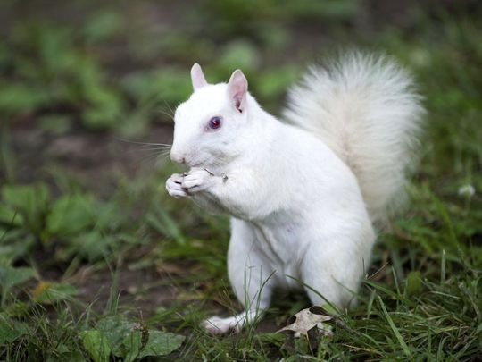 white_squirrel.jpg