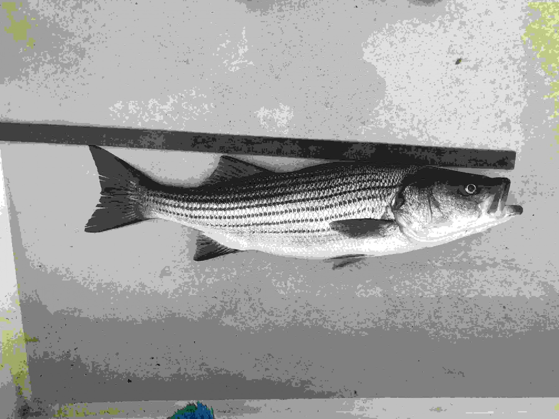bass on deck low res.jpg