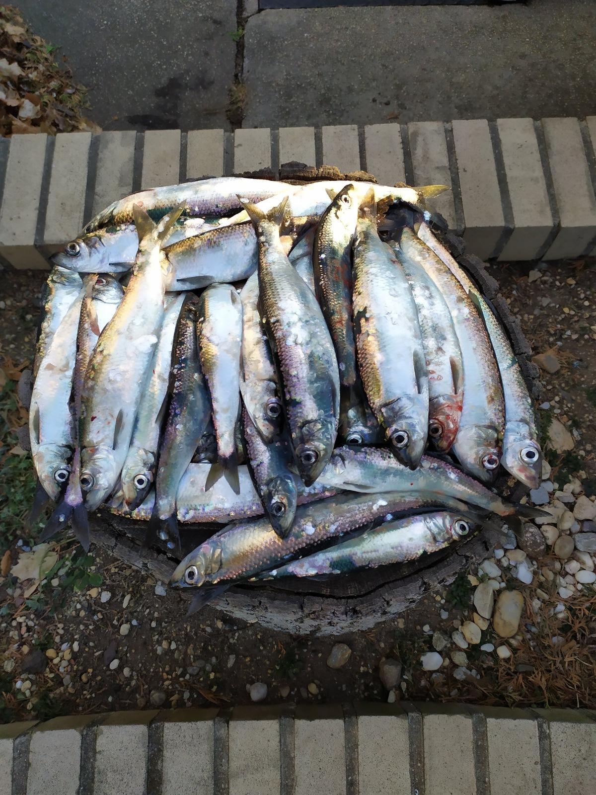 herrings1.jpg