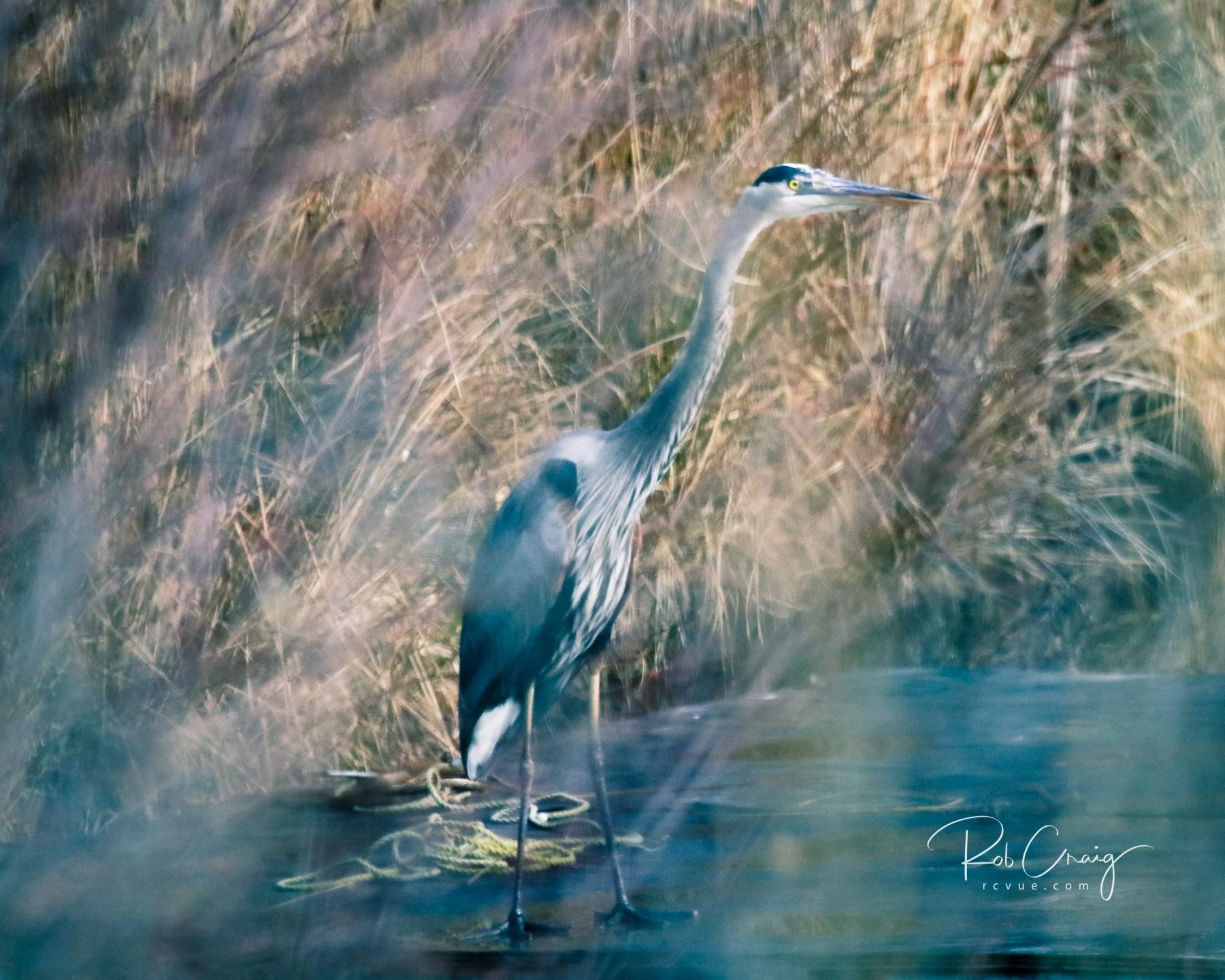 Blue Heron 011620.jpg