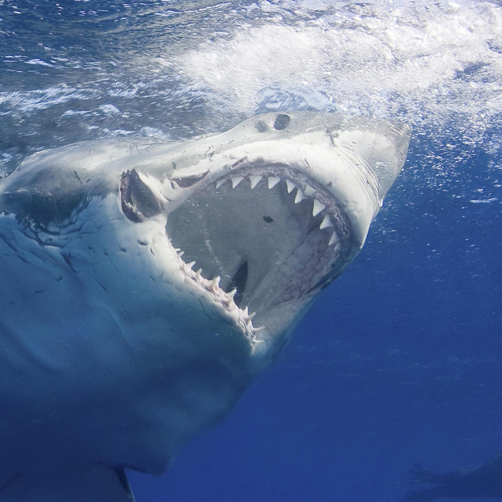 5e71272098a00_great-white-shark_thumb.ngsversion.1498145420427.adapt_1900_11.jpg.fefe1e340177a77ae7a7afa51e08b1b4.jpg