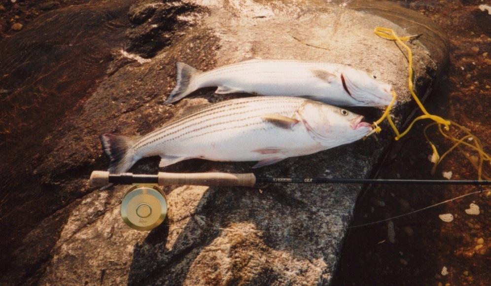 RappaRockfish.jpeg.41caca55f9bd9f8d29563ccefb7a3728.jpeg
