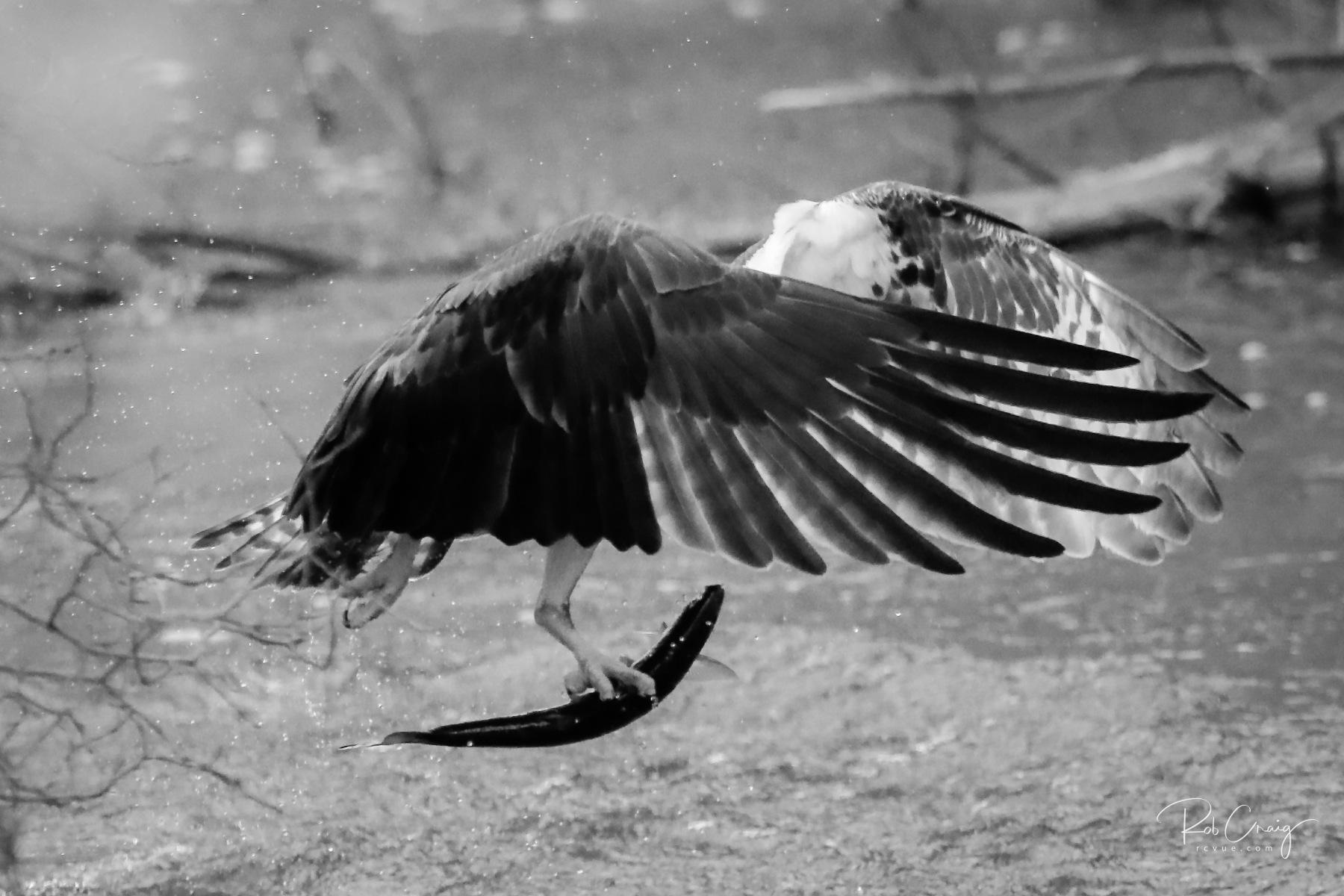 Osprey Catch 042020.jpg
