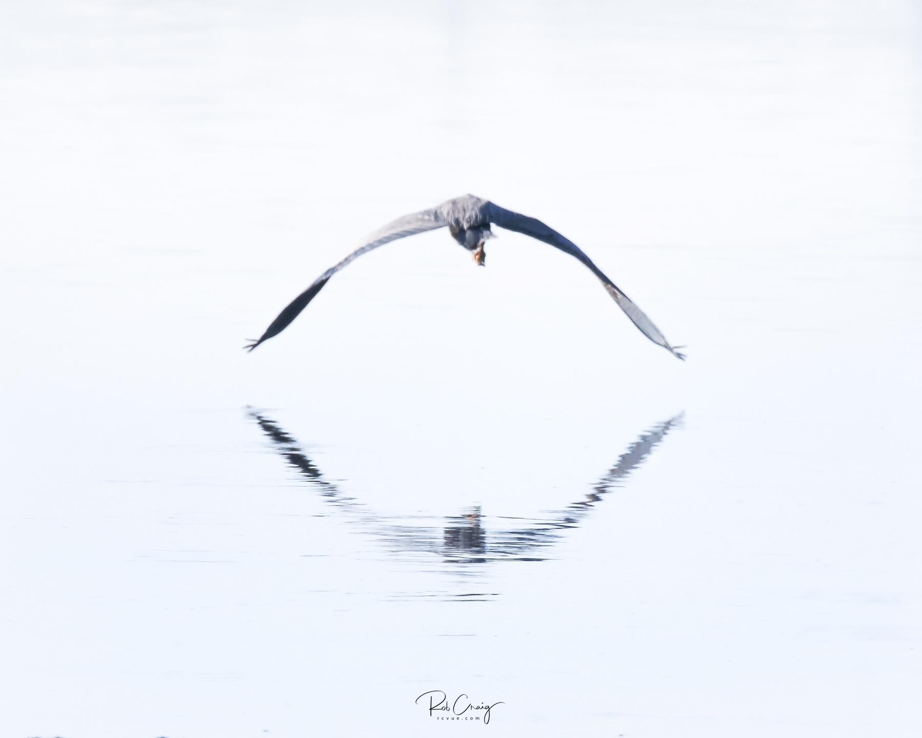 Blue Heron Takeoff 042620.jpg