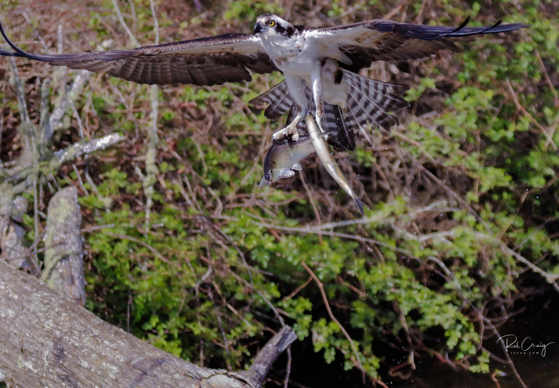 Osprey Catch 042620.jpg