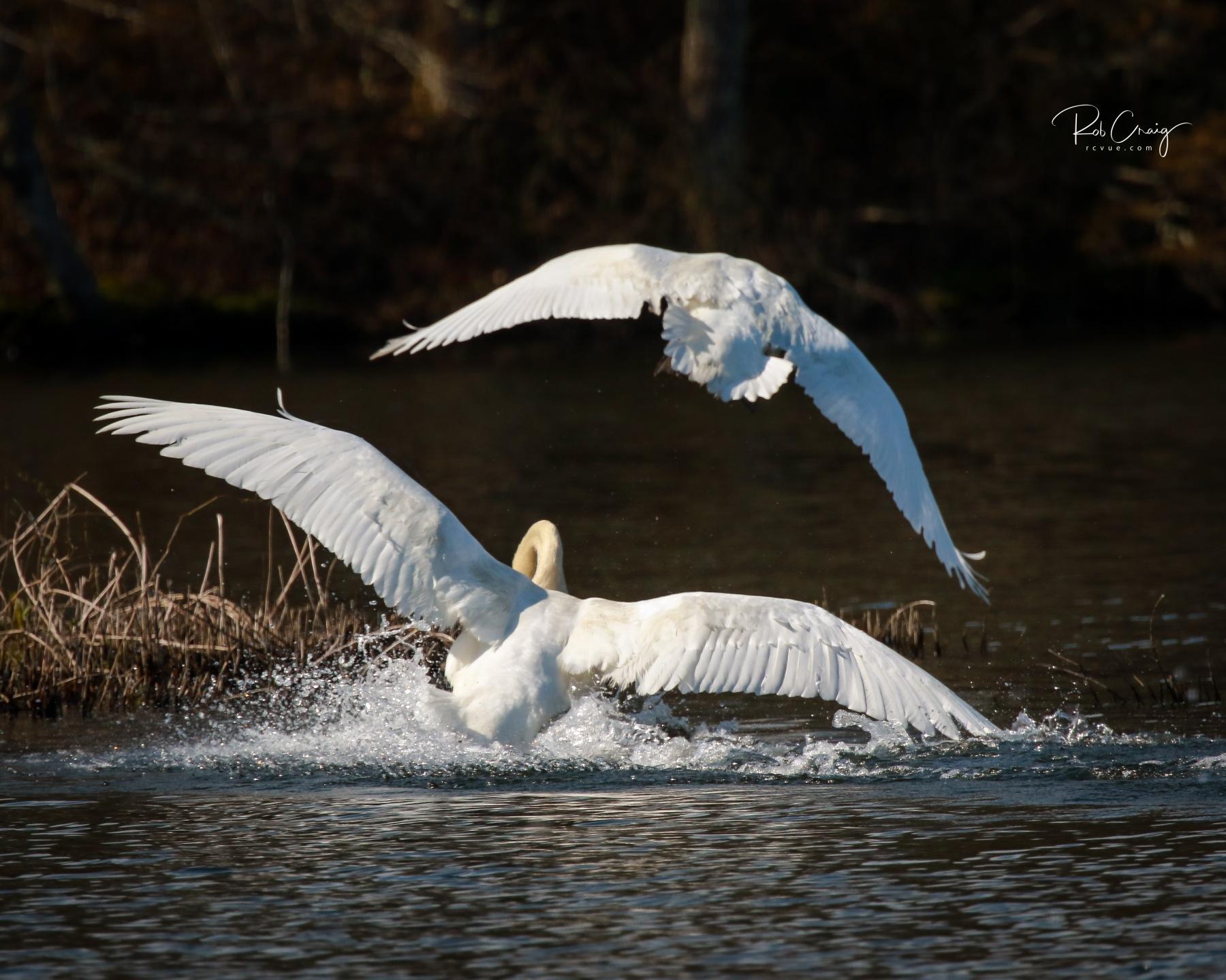Swan Chase 051120.jpg