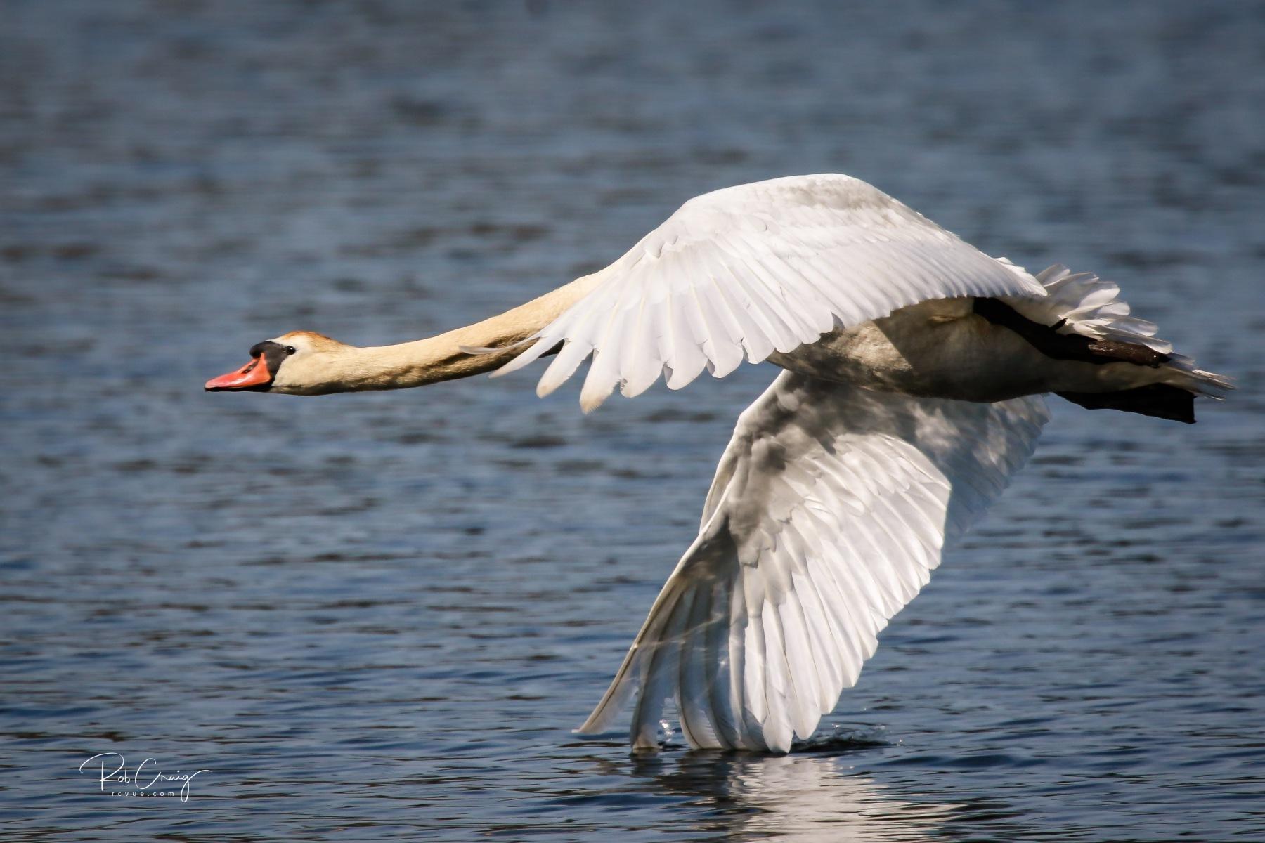 Swan Skimming 051120.jpg