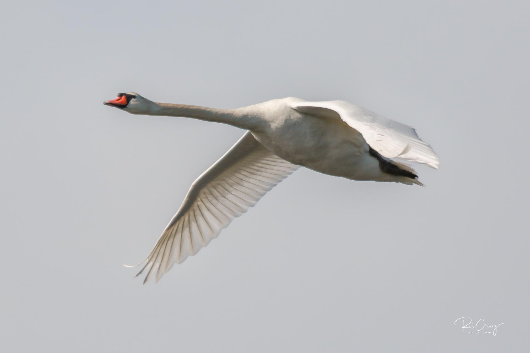 Swan 051120.jpg