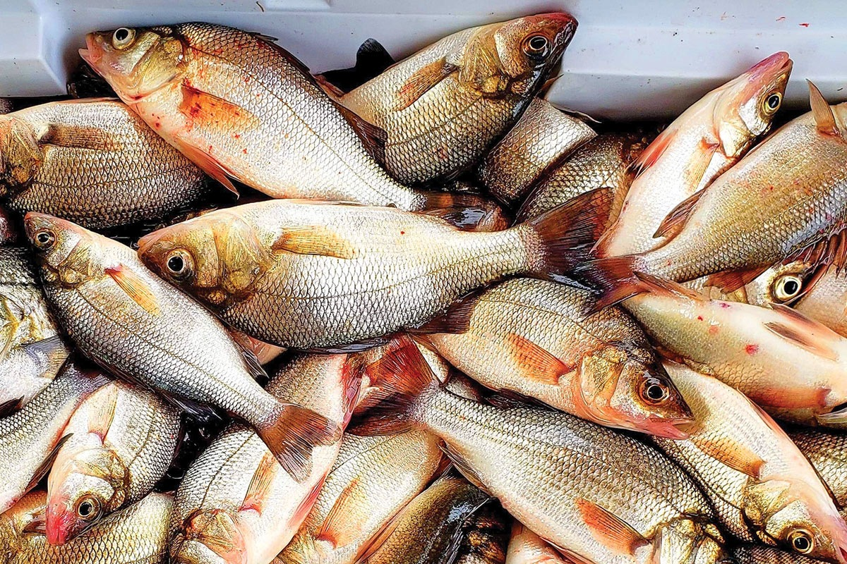 2019-3-late-winter-white-perch-COOLER-OF-FISH.jpg
