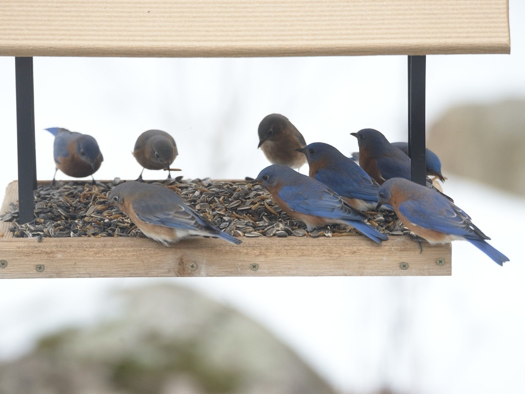 bluebirds.jpg.8731ccf90d038dce6ac872d07f0cba84.jpg