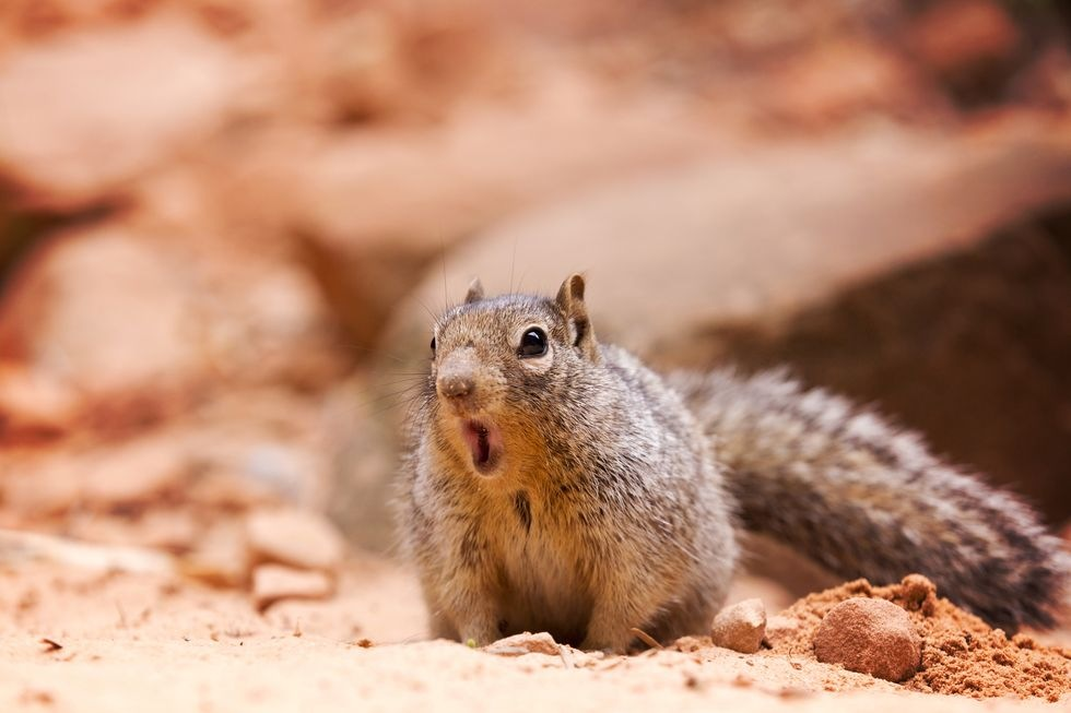 surprised-squirrel-royalty-free-image-610243436-1539803069.jpg.d003e76ceaf1437f50bf9d522fb88edc.jpg