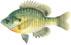 Sunfish-Bluegillsmall.jpg