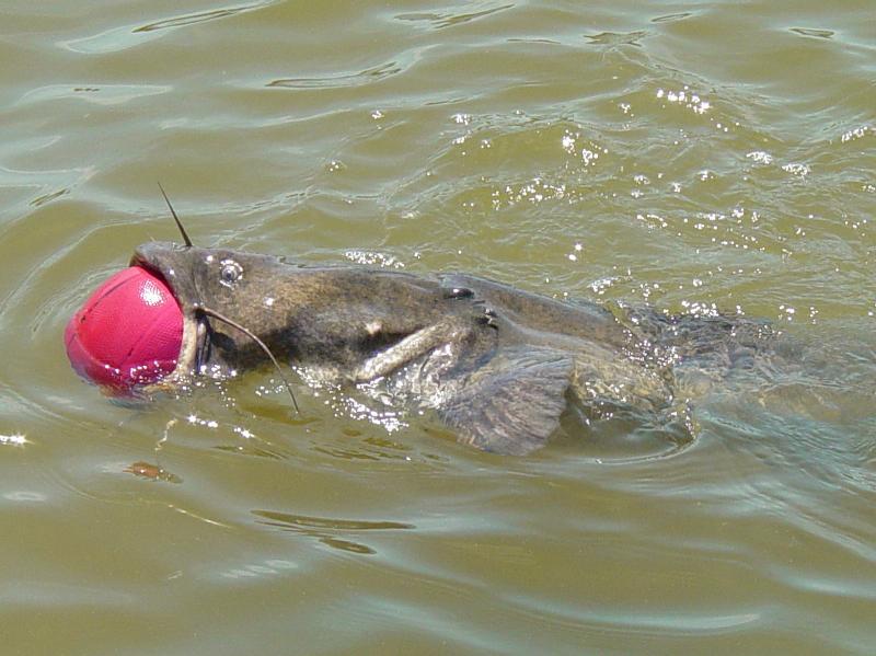 acatfish2.jpg